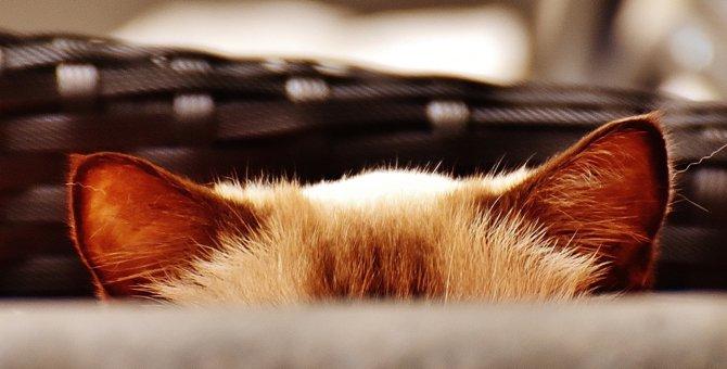 耳の動きで分かる猫の気持ち