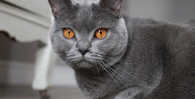 ブルーの猫御三家「ロシアンブルー」「シャルトリュー」「コラット」特徴や飼い方