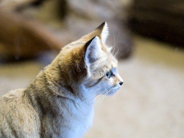 砂漠に住む野生の猫「スナネコ」