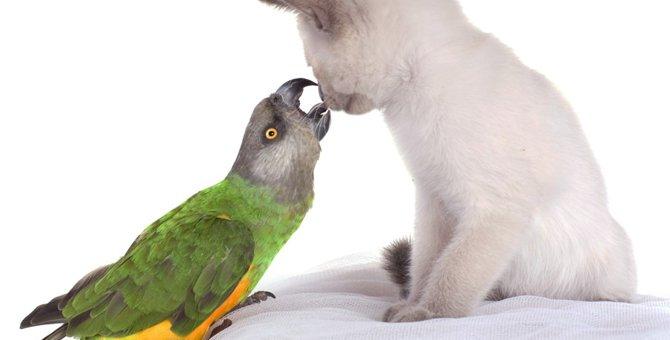 猫とインコを一緒に飼うことは可能?仲良く一緒に暮らす方法や注意点
