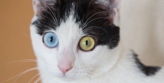 オッドアイの猫まとめ!主な原因と確率、多い種類まで