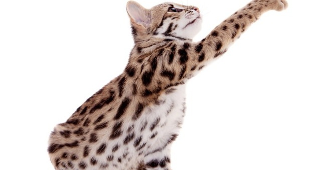 猫種アシェラの特徴とその驚きの値段