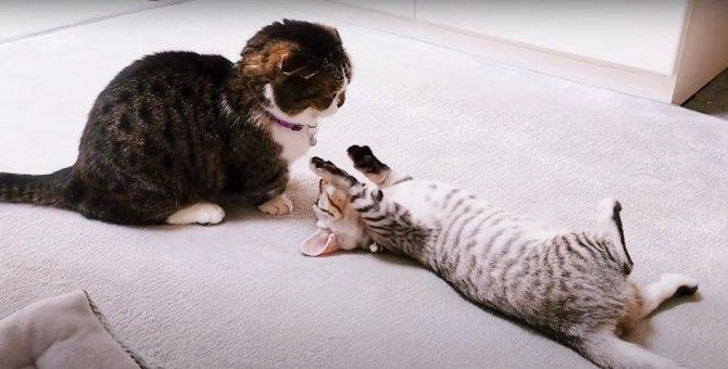 困ったにゃ…何度も挑発してくる子猫にタジタジな先輩猫