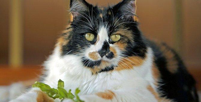 甘え上手なツンデレ女王様?!長毛の三毛猫の魅力をご紹介!
