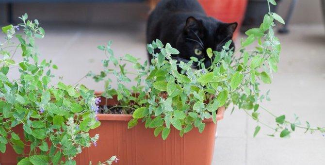 猫にハッカ油を使わない方が良い理由