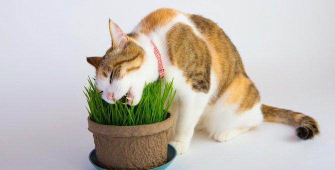 『猫草』って必ず与えなければいけないの?猫に必要な3つの理由