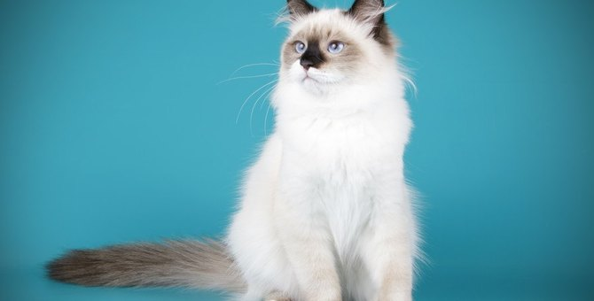 ラグドールってどんな猫?特徴や性格、毛色などを紹介