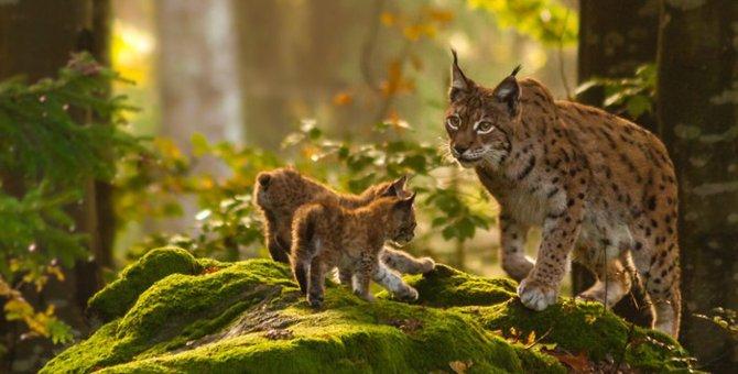 オオヤマネコはどんな猫?特徴や性格、ペットとして飼う方法
