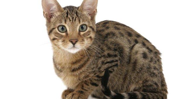 セレンゲティはワイルドな見た目の猫!特徴や性格について