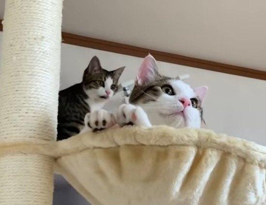 新しいキャットタワーを登り降りする子猫ちゃんが可愛い♡