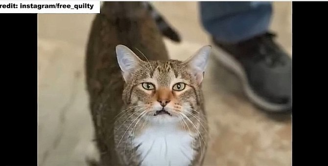 シェルターのドアをなんなく開けてしまう猫「キルティー」が大人気!