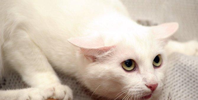 猫の『イカ耳』でわかる4つの心理状態!絶対しちゃダメなNG行為とは?
