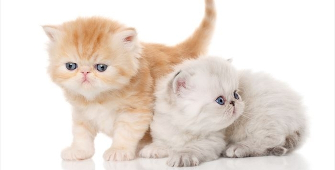 エキゾチックショートヘアの子猫の飼い方や注意点