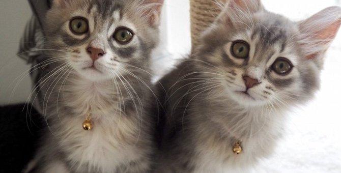 新入りの猫ちゃんがやってきた!! 猫のミロくんから溢れ出る父性愛。