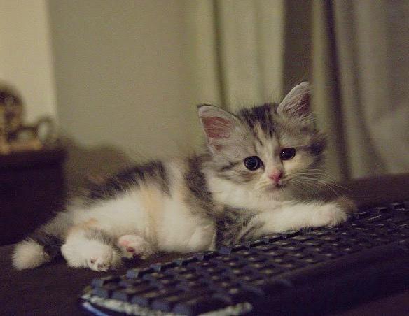 猫が『キーボード』を好む心理4選!なぜわざわざ乗りたがるの?理由は?