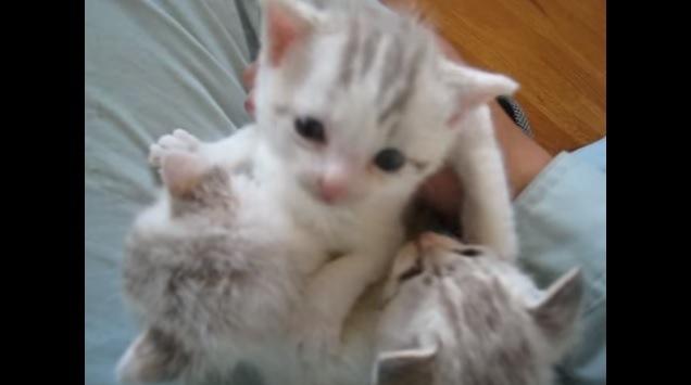 お膝に乗せるとピタリと鳴きやむ3匹の子猫ちゃん♪
