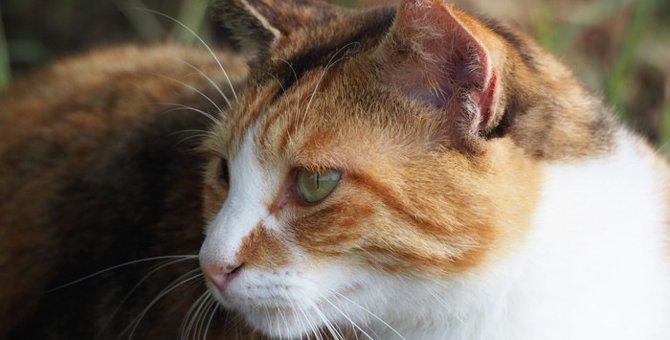 猫が中耳炎になった時の症状と治療の方法