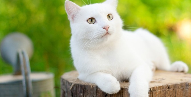 白猫の子猫の特徴と迎え入れる2つの方法