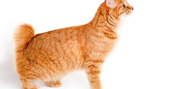 猫がかぎしっぽになる原因と日本に多いワケ