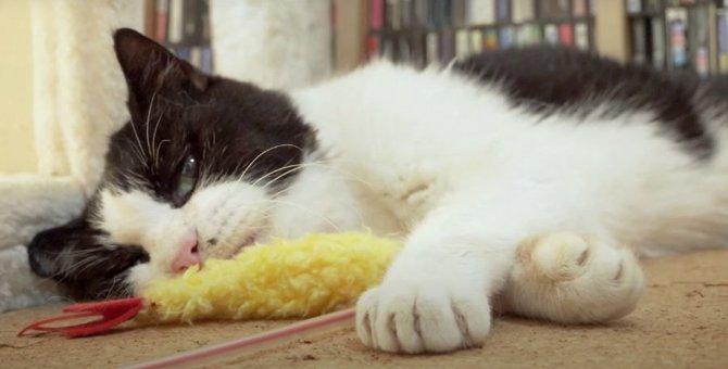 海老フライみたいなおもちゃで遊ぶ猫ちゃんたち♡