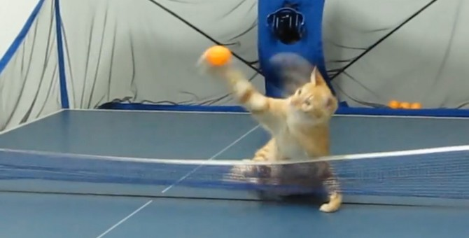 猫ちゃんの華麗なスマッシュ!卓球が得意な猫ちゃん
