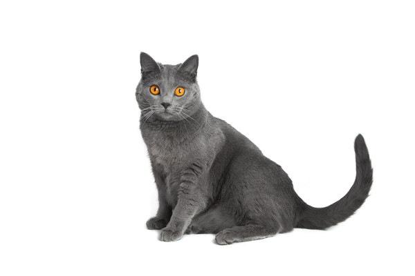 フランス原産の猫シャルトリューの歴史や特徴、飼い方