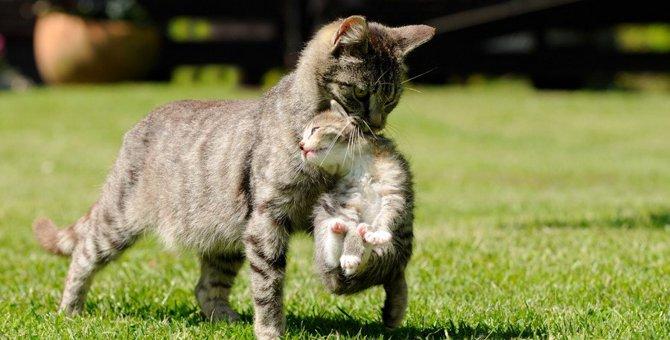 猫の首をつまむとおとなしくなる理由とは?