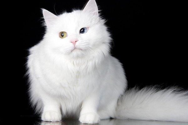 ヴァン猫の特徴や性格について解説!貴重な理由や歴史まで