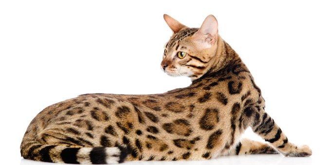 高級猫ランキング!世界一高価な品種の最高額は1500万円