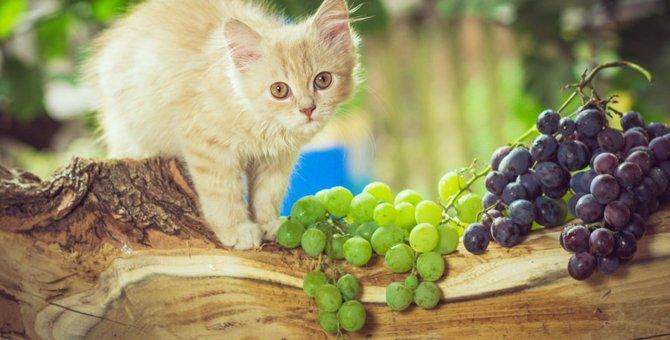 猫にぶどうは食べさせてはいけない!理由と対処法