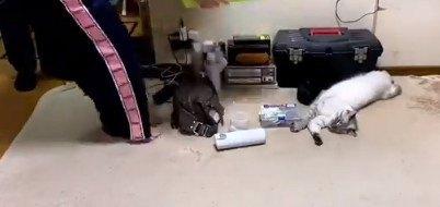 寝たまま運び出される猫さんの迅速撤収劇がドリフテイストで爆笑!