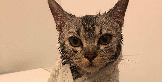 【騒然】お風呂上がりの子猫の色気が半端じゃない!