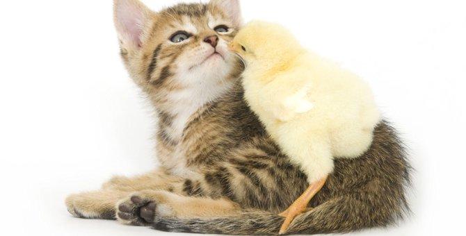 ひよこと仲良くできる猫の特徴