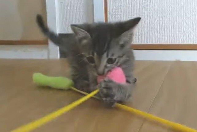 どっちが勝つ?子猫の姉妹対決!