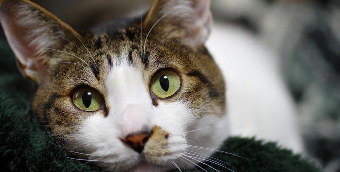 すぐに病院へ行くべき?愛猫の目が充血しているときにしなければならないこと3つ
