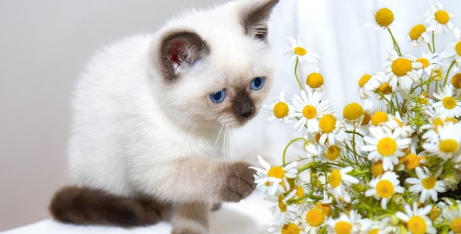 猫にカモミールを与えるのは危険?得られる効果や与える際の注意点など