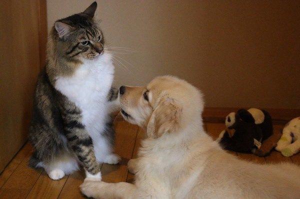 母性本能の強い猫種4選