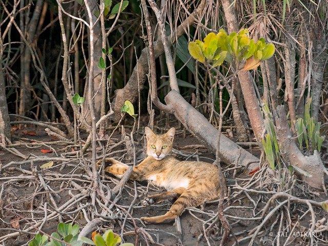 ジャングルキャットはどんな生き物?特徴や会いに行ける動物園まで