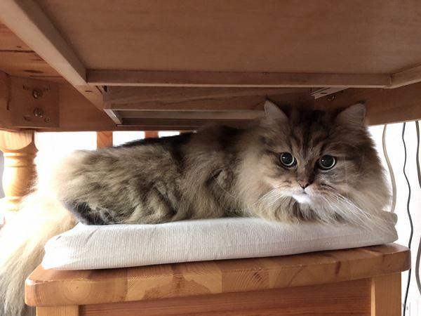 アパートで飼うのに向いている猫の種類6種