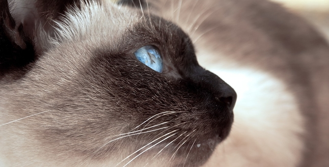 シャム猫の性格。タイ王族出身の賢く活発な品種