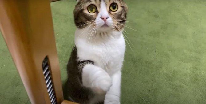 かわいすぎる猫ハラ!おねだり上手な猫さん♡