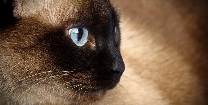 シャム猫の特徴と飼育する上での5つのポイント