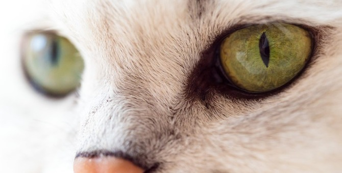 猫の目の色の豊富な種類とその特徴