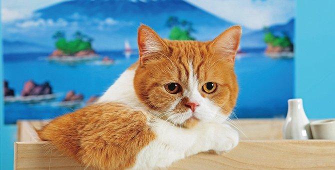 猫の春馬くんはどんな猫?ふてにゃんCMで有名になった経緯