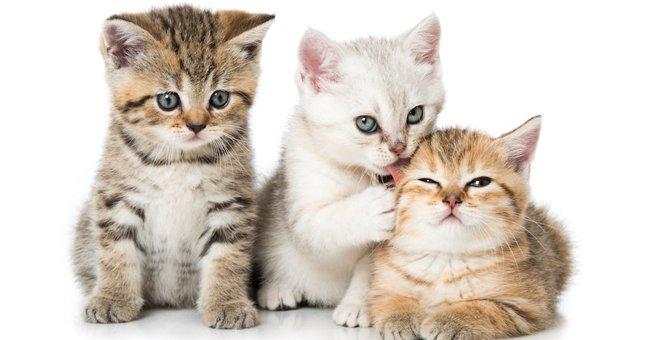 猫は父親違いの子猫を同時に妊娠できる!複雑な家族事情