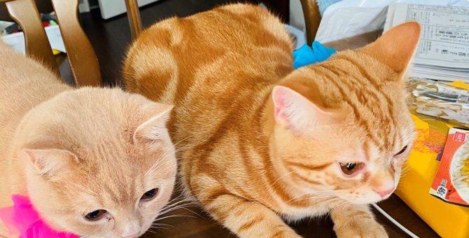 『美味しい?ねぇ、美味しい?』朝食見守り隊!子猫コンビが律儀でかわいい♡