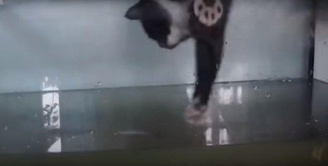 お魚を捕まえようとして、水槽に真っ逆さま!予想通りの展開で落ちる猫