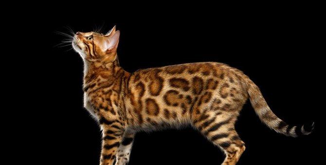 ベンガルってどんな猫?特徴や性格、模様の種類など