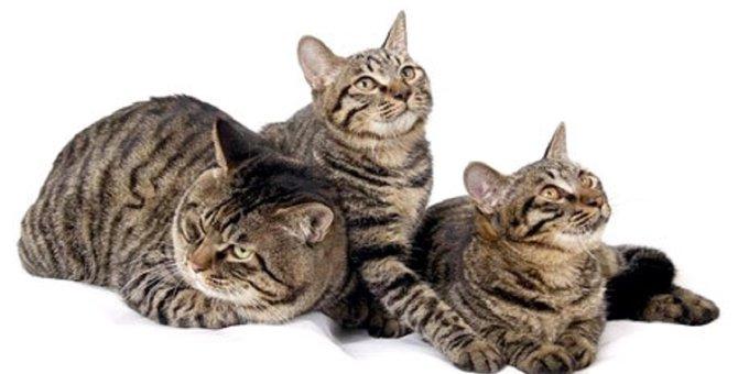 ドラゴンリーってどんな猫?その特徴や性格、飼い方まで!