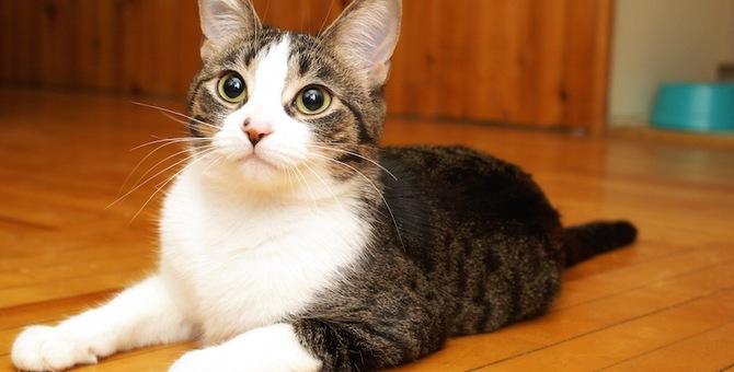 猫のためにはフローリングとカーペットどちらがいい?